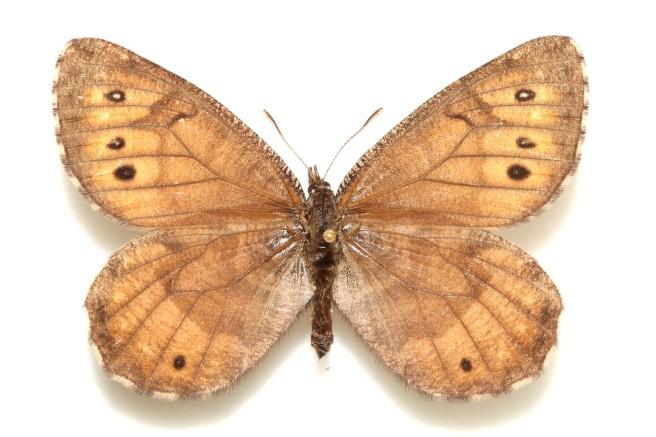 Oeneis-tanana-female-dorsal