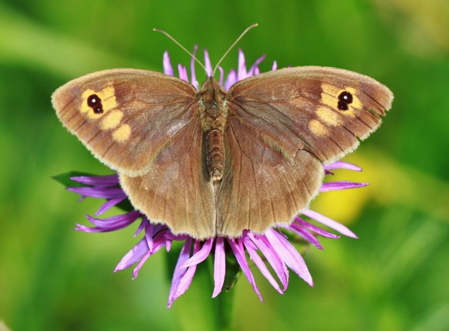 meadow-brown-562458_1280
