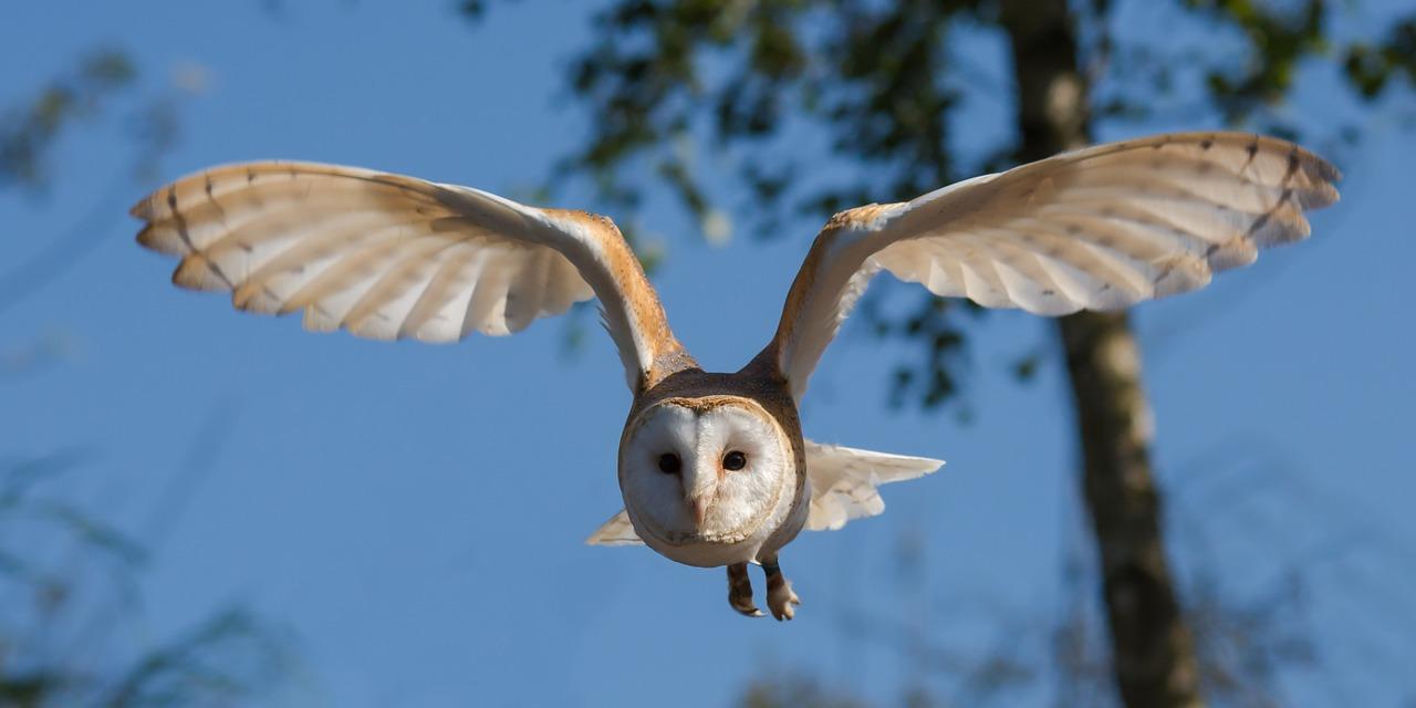 barn-owl-1107397_1280