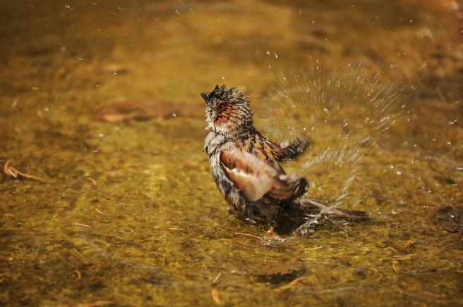 sparrow-1154182_1920