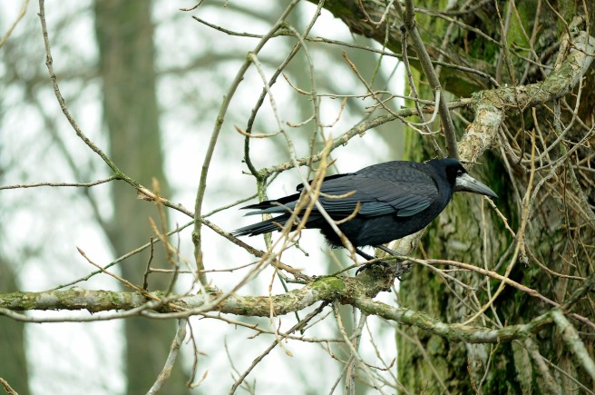 rook-bird-1168959_1920