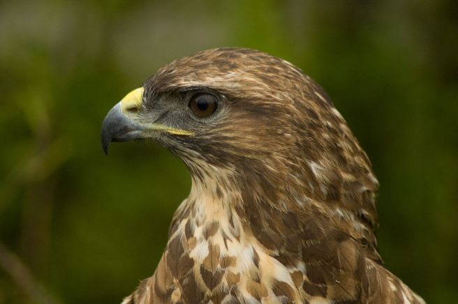 1200px-Buteo_buteo_-Hamerton_Zoo,_Cambridgeshire,_England_-head-8a