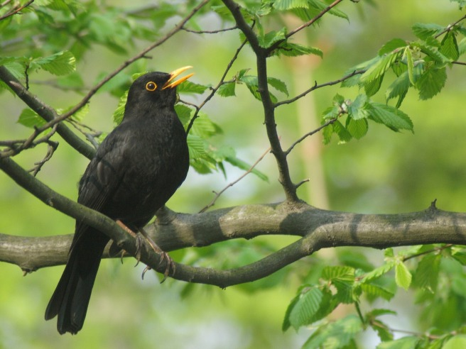 blackbird-2126845_1920
