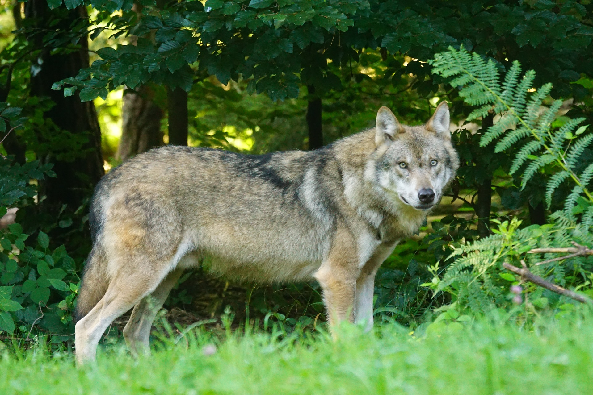 wolf-1583200_1920