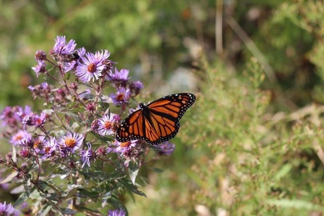 monarch-1983317_1920