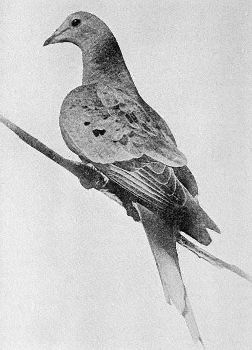 647px-Martha_last_passenger_pigeon_1914