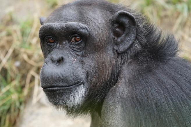 chimpanzee-871296_1920