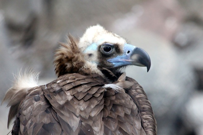 black-vulture-2011894_1920